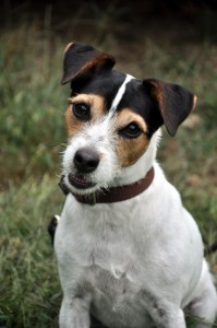 Complete an application and adopt a Jack Russell Terrier