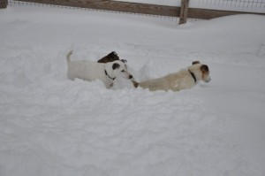 Jackee and Teddie hunt in deep snow