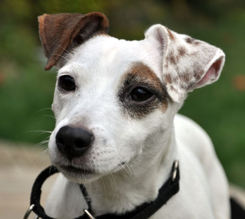 Jack Russell Terrier Adoption from Jacks Galore Rescue in Massachusetts