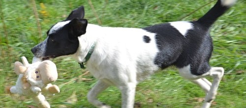 Jetta An Athletic Mix Jack Russell Terrier Rescue