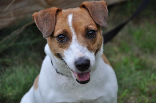 Heather - Jack Russell Terrier Rescue