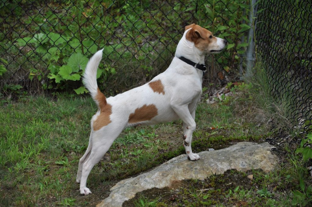 long legged terrier gia jack russell terrier rescue 8484