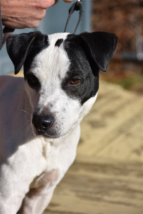 jack russell terrier mass jack russell terrier adoption from jacks galore rescue in 2503